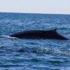 whales-feb21-2017-delmar-15